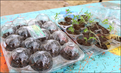 tomato starts from heirloom organic seed